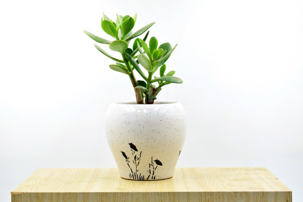 Jade plant In White Pot