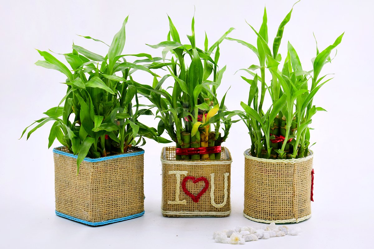 Set Of 3 Lucky Bamboo Plants