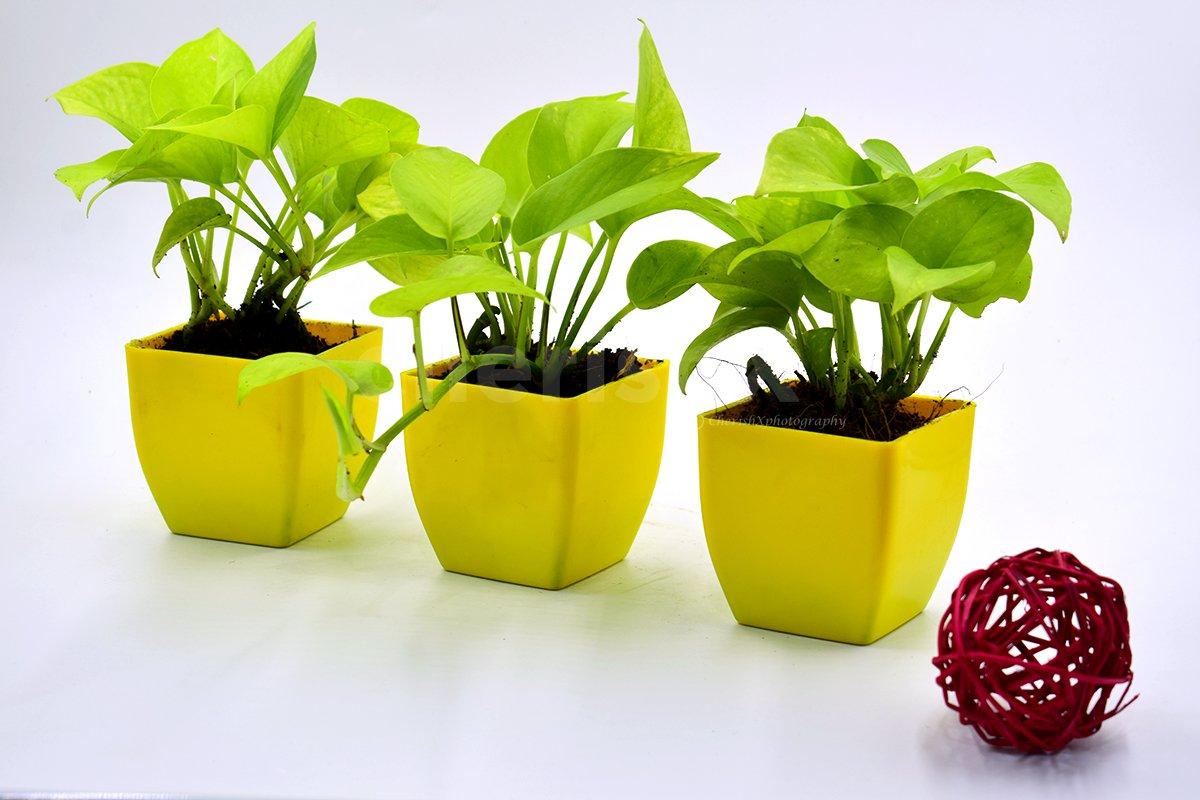 Set Of 3 Money Plants