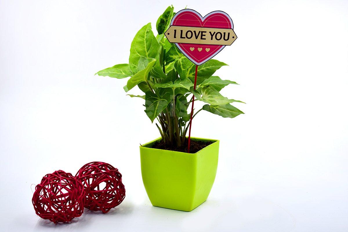 Lovely Syngonium In Green Pot