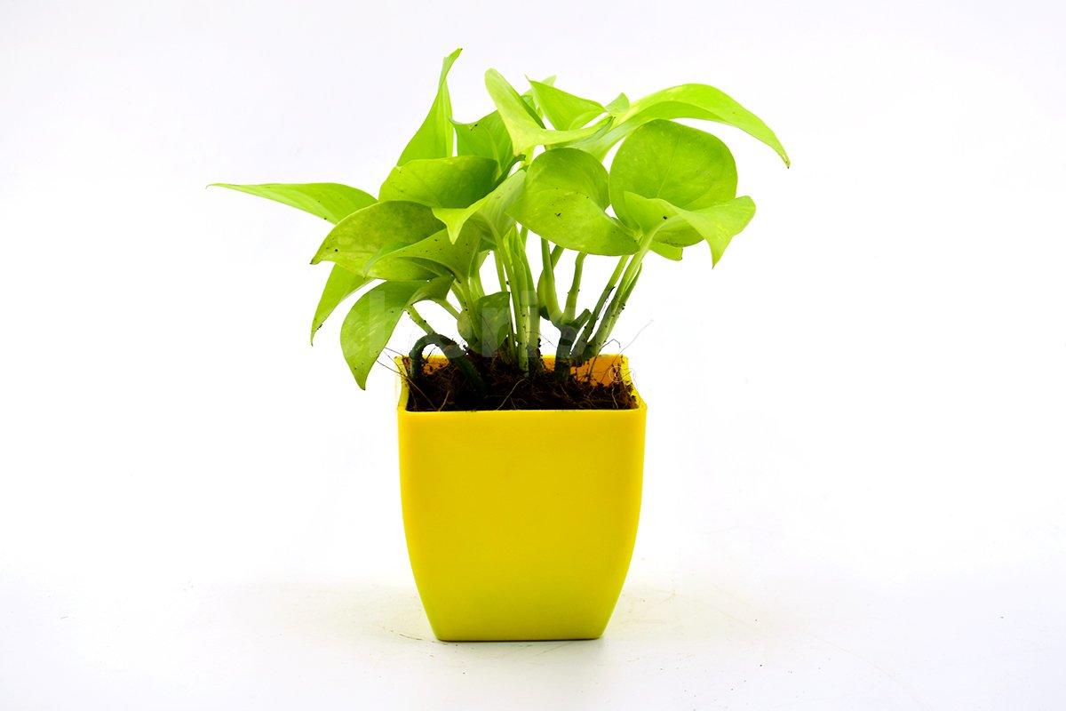 Money Plant In Yellow Pot