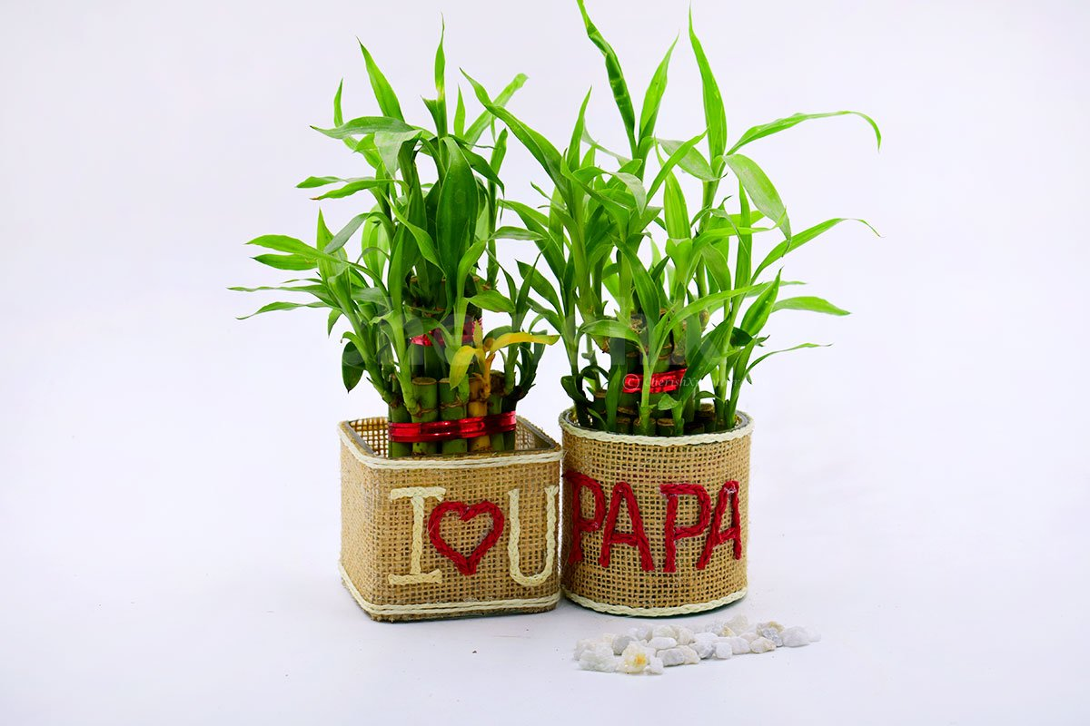 Set Of 2 Lucky Bamboo Plants