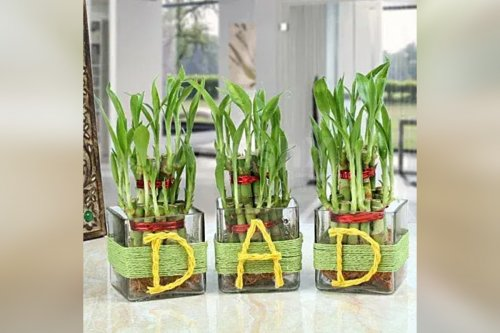 'DAD' Lucky Bamboo Plants (Set Of 3)